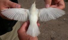 Beda CR albino dan blorok