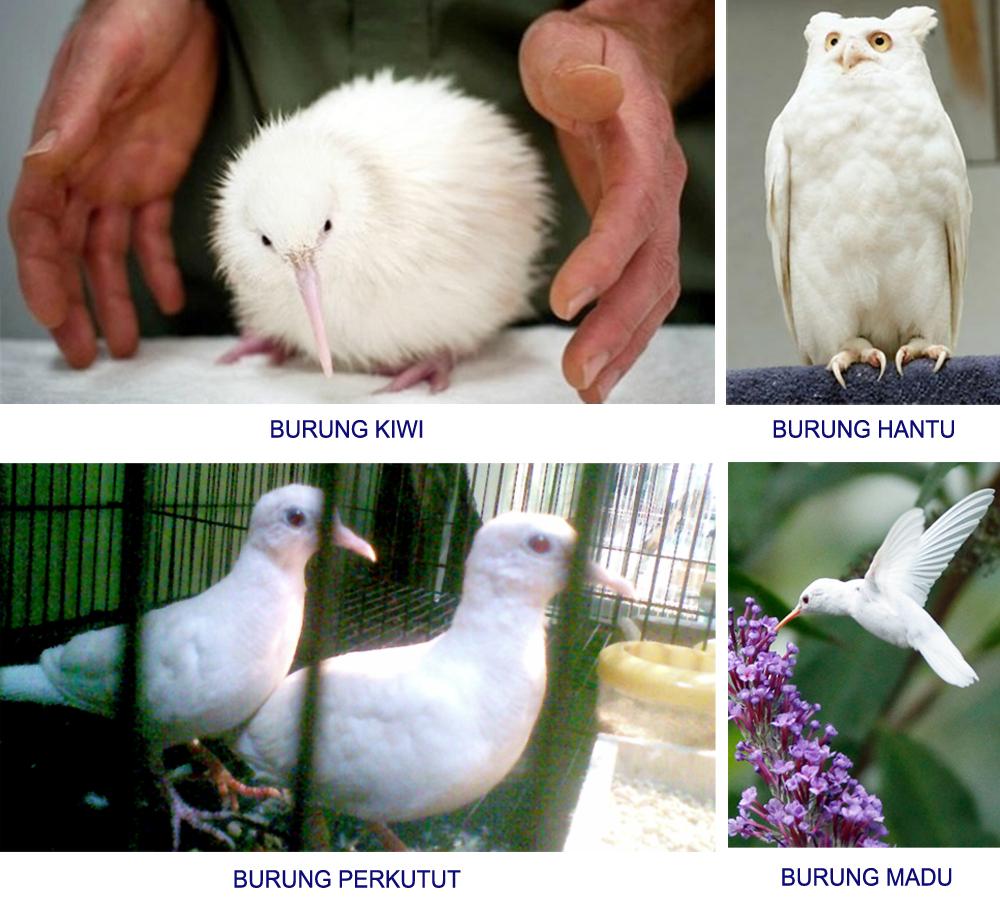 burung-albino2