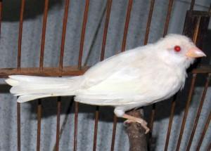 Burung gereja albino