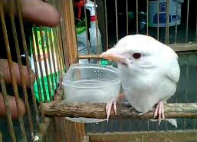 Cendet Albino
