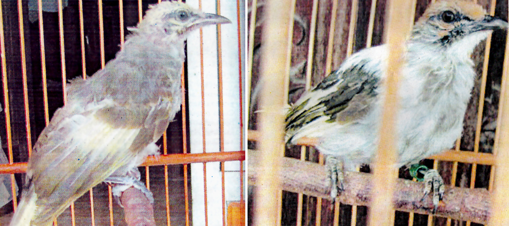 cucakrowo-albino1