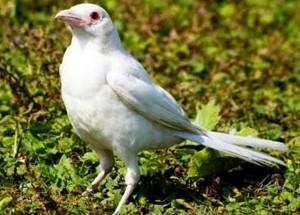 Kacer Albino