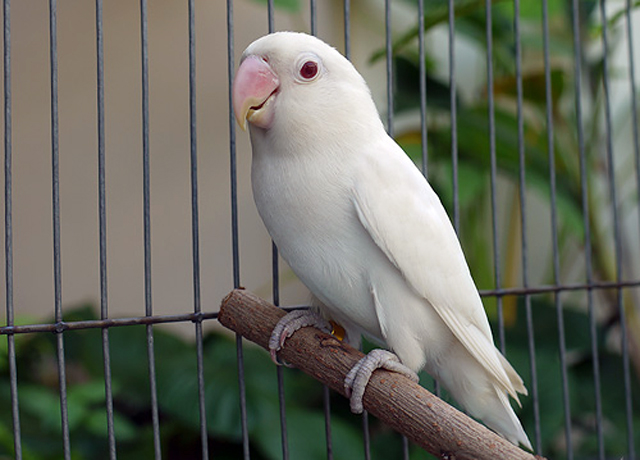 Cantiknya Lovebird Albino