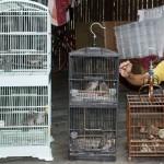 Perawatan burung cucakrawa