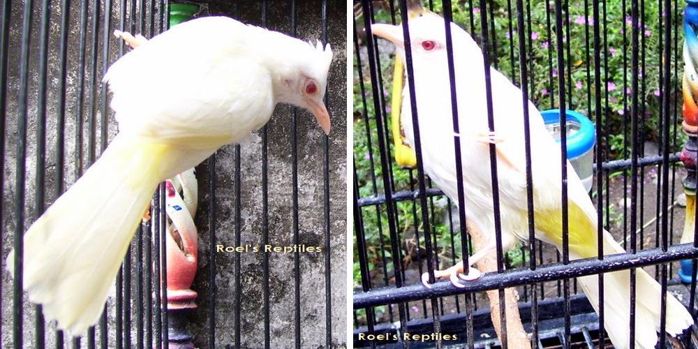 Burung Trucukan Albino