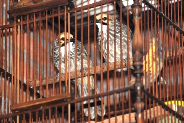 penangkaran burung cucakrawa