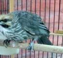 Video cucakrawa maskot GRD Bird Farm